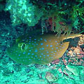 Blue-spotted Lagoon Ray (Taeniura lymma)
