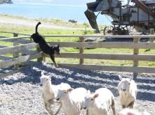 Sheepdog at work