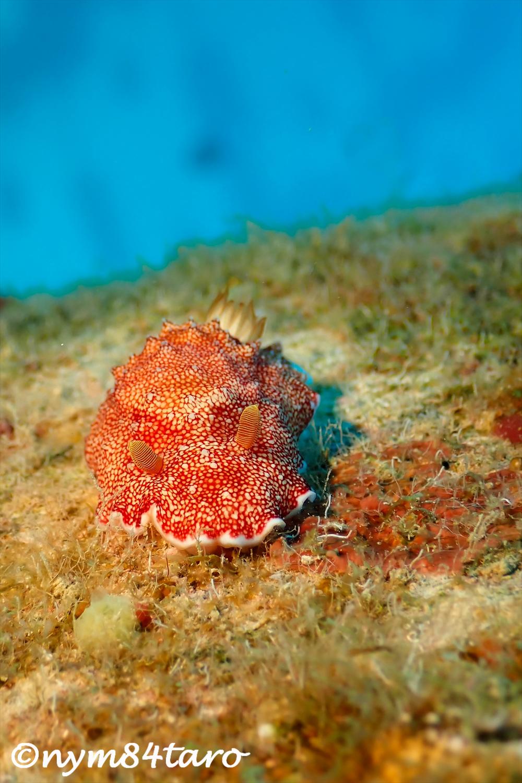 チリメンウミウシ|沖縄ウミウシダイビング