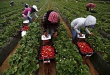 بعد أشهر من المعاناة..إتفاق لإعادة الآلاف من عاملات الفراولة إلى المغرب 11