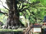 日本一の巨樹「蒲生の大楠」