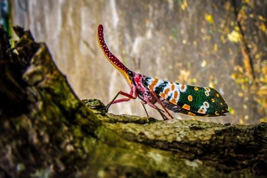 canthigaster-cicada-fulgoromorpha-insect-proboscis