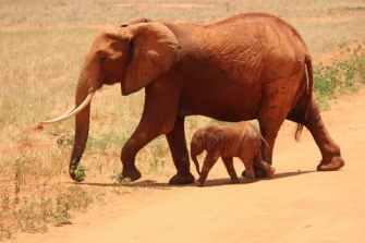 elephant-cub