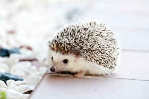 hedgehog-animal-baby-cute