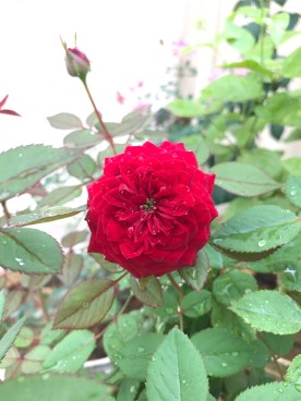 Beautiful rose_nature_flower
