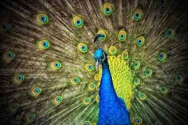 peacock-animal-iridescent
