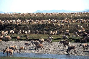 Ottawa s'oppose à des forages en Alaska menaçant des caribous