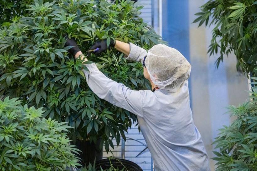 Canopy Growth achètera Supreme Cannabis pour 435 millions