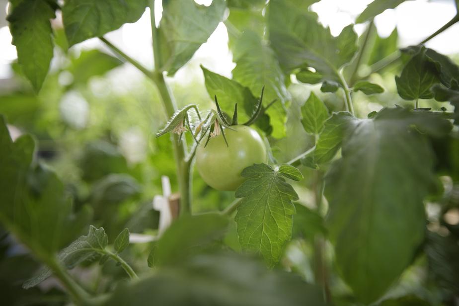 Semences non sollicitées: tomates, roses et… mauvaises herbes