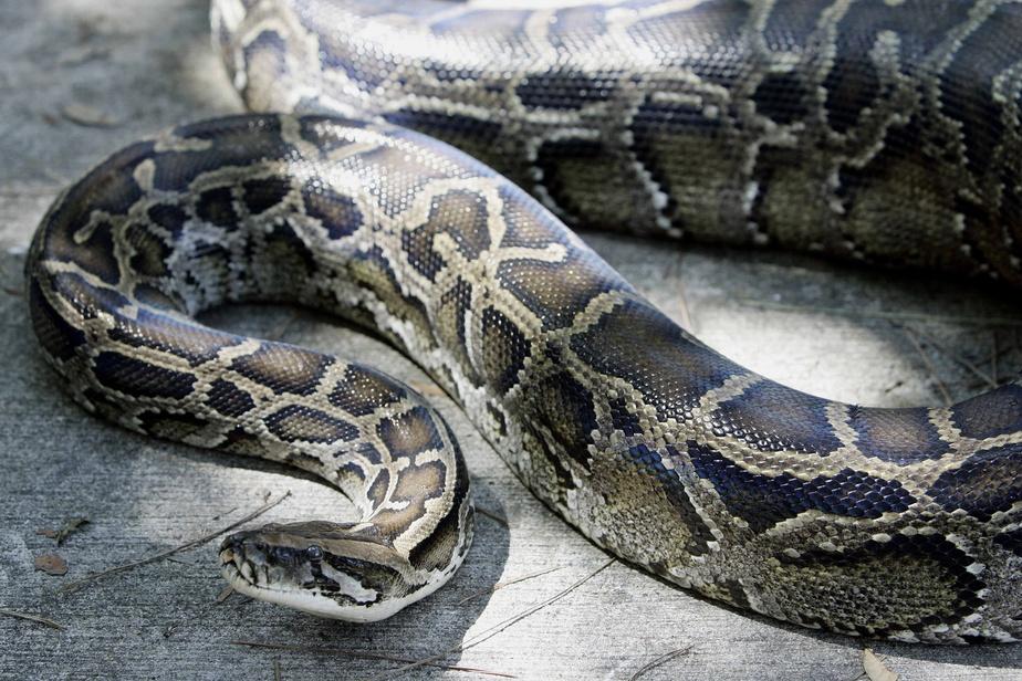 Un python en liberté à Gatineau