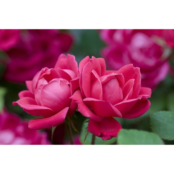 2-gallon Pot Double Knock Rose Red