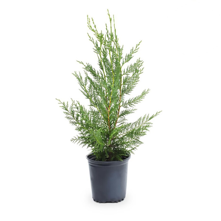 Leyland Cypress Lowes