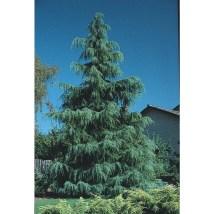 7-gallon Deodar Cedar Feature Tree L4674