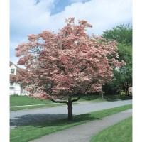 Shop 5.5-Gallon Pink Flowering Dogwood Flowering Tree ...