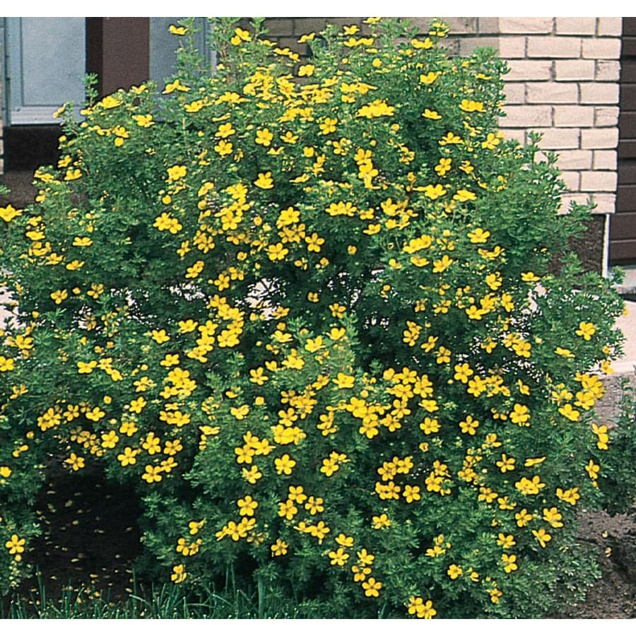 Yellow Flowering Shrubs