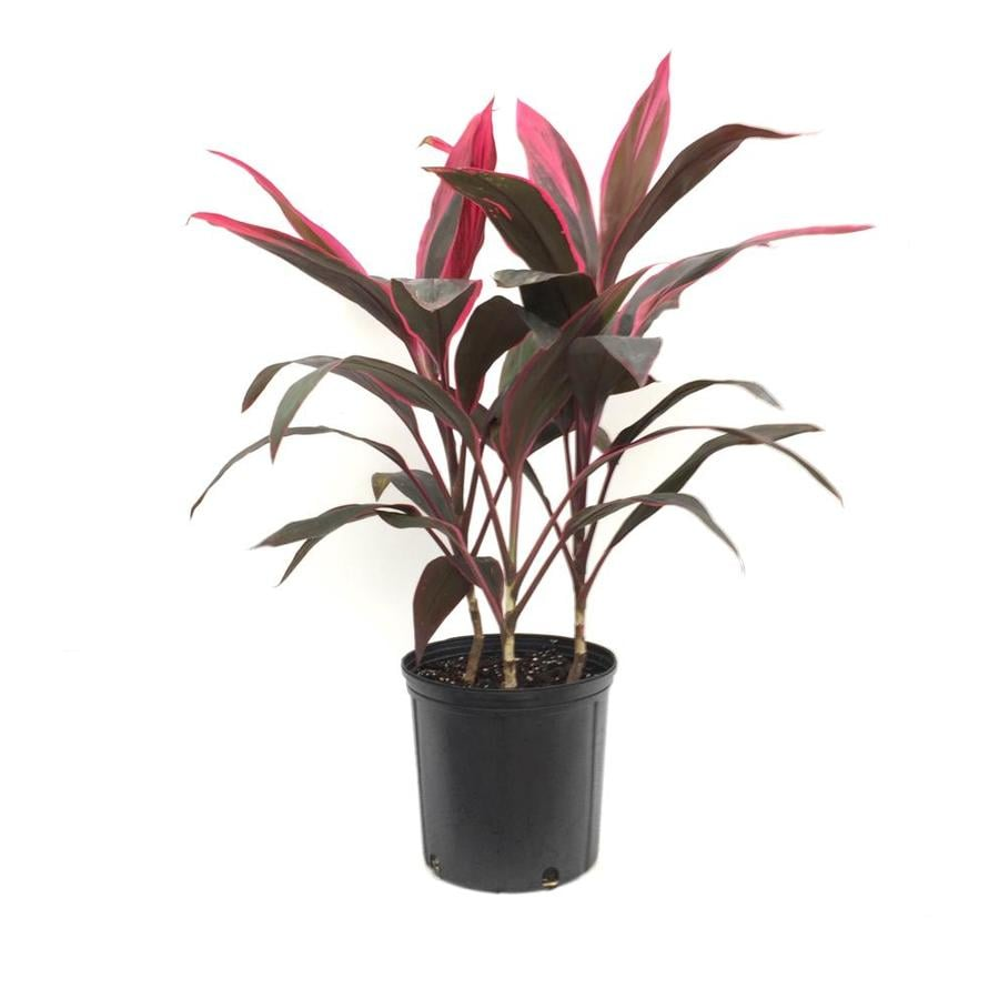 Best Kitchen Gallery: Shop 2 Gallon Cordyline Potted Lhp At Lowes of Tropical House Plant Cordyline on rachelxblog.com
