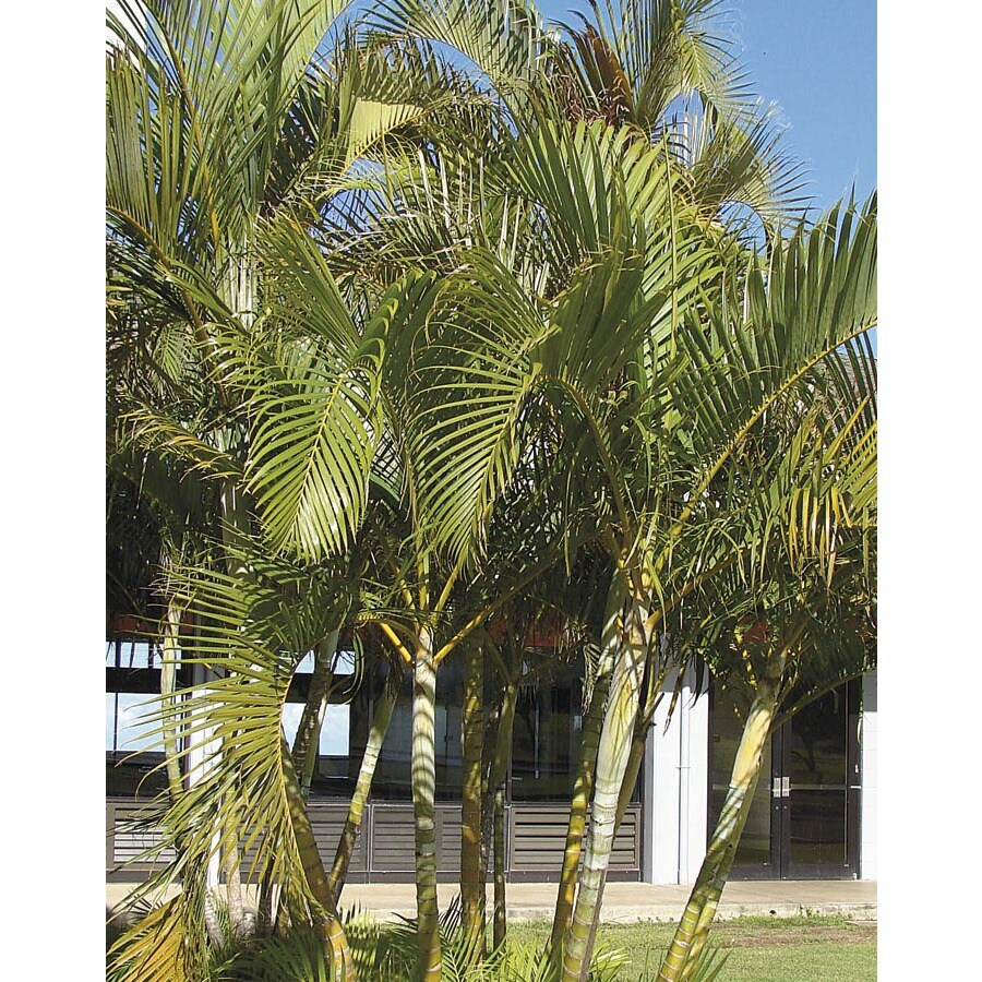 Areca Palm Ltl0010 At Lowes Com