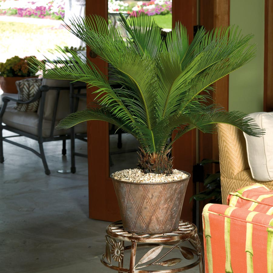lighting for low ceiling living room how to choose color shop plants of steel sago palm (l2969hp) at lowes.com