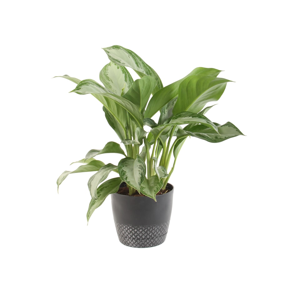 Plants of Steel 19QuartPack Chinese evergreen in