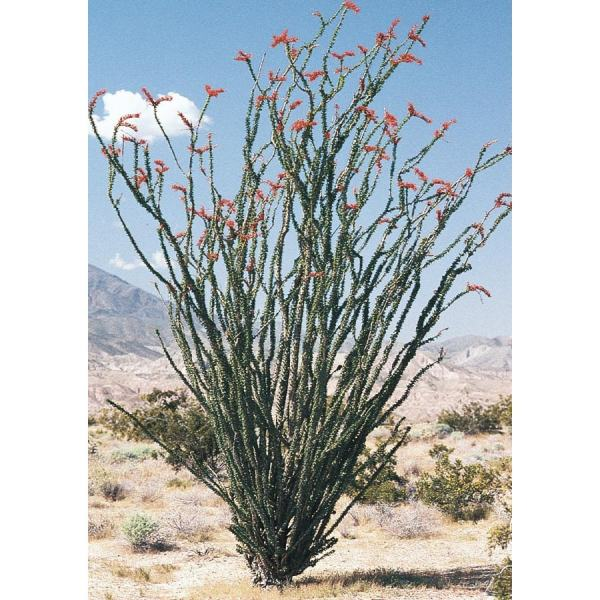 red ocotillo feature shrub