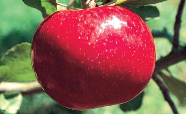 3 84 Gallon Beacon Apple Tree L16598 At Lowes