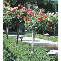 Shop 5-Gallon Pot Tree rose (L5352) at Lowes.com