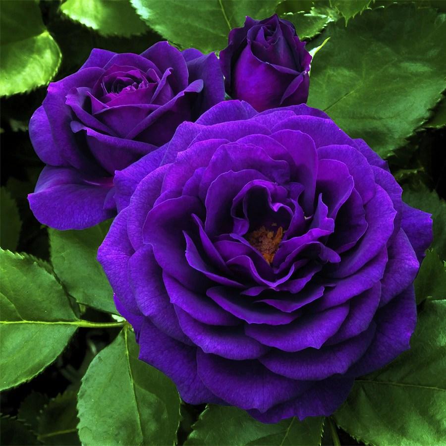 in purple rose l6023
