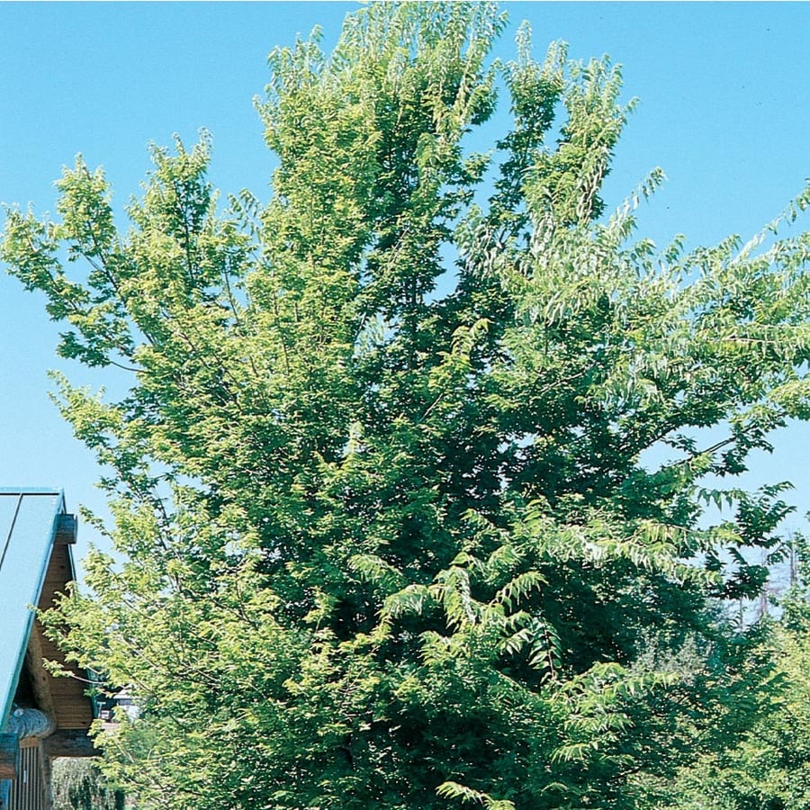 55Gallon Yellow Common Hackberry Shade Tree in Pot With