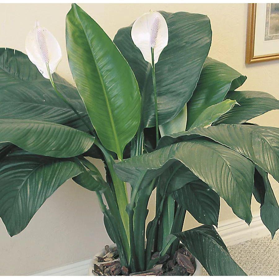shop sensation peace lily l03943hp at lowes com
