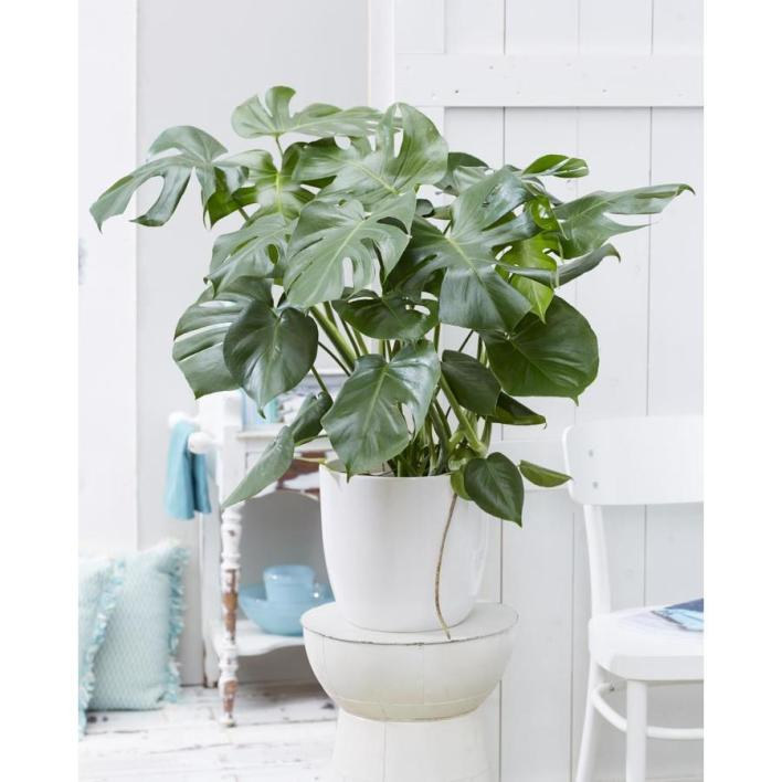 Great Plants To Have In The House, the Montera is a beautiful plant to have in the house