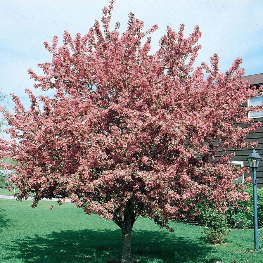 lowes kitchen appliances standard table size shop 12.7-gallon crabapple indian magic flowering tree ...