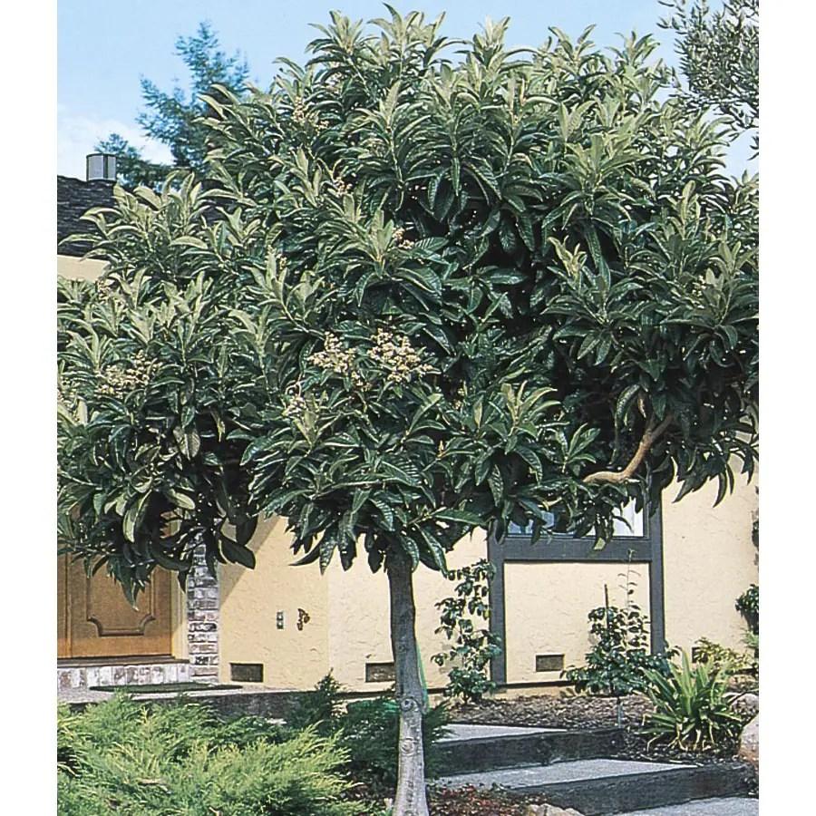Japanese Loquat Tree L4712 at Lowescom