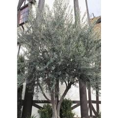 Lowes Kitchen Appliances & Bath Shop 28.5-gallon European Olive Feature Tree (l14921) At ...