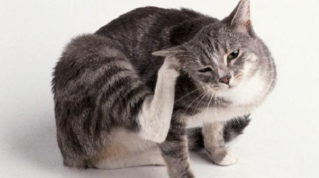 itch-cat Scientists Identify Neuron that Causes Itching