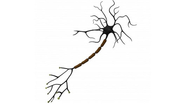 multiple-sclerosis-myelin-tolerance A New Treatment For Multiple Sclerosis
