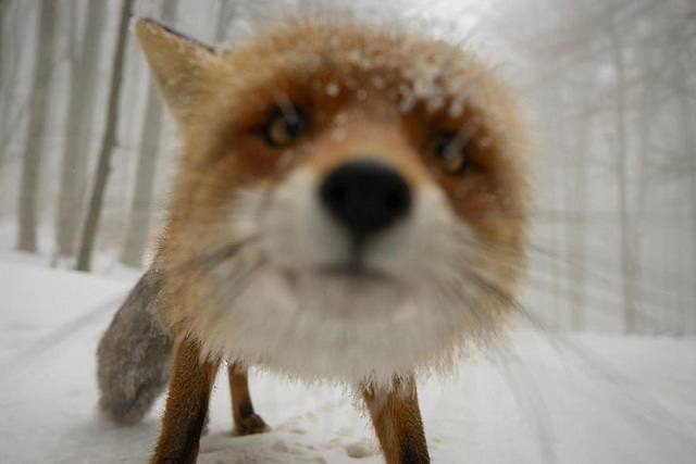 fox-photos-mobilemag-17 Fox Photography: It's Time To Fall In Love With Foxes