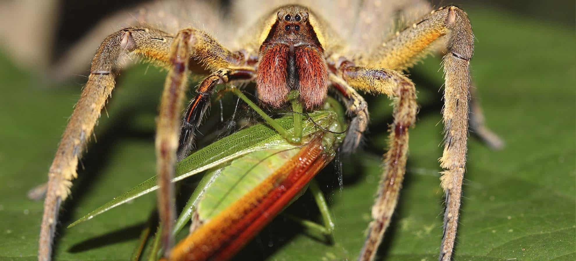 spider eating a grasshopper on leaf in the forest