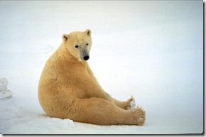 depressed-polar-bear_4164