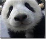 in-yo-face-panda