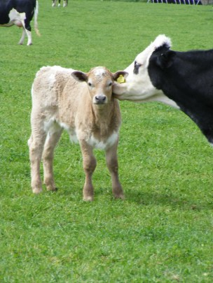 B&W cow with calf