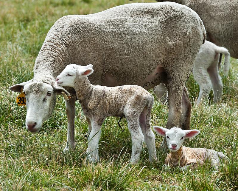 sheared sheep with 2 lambs