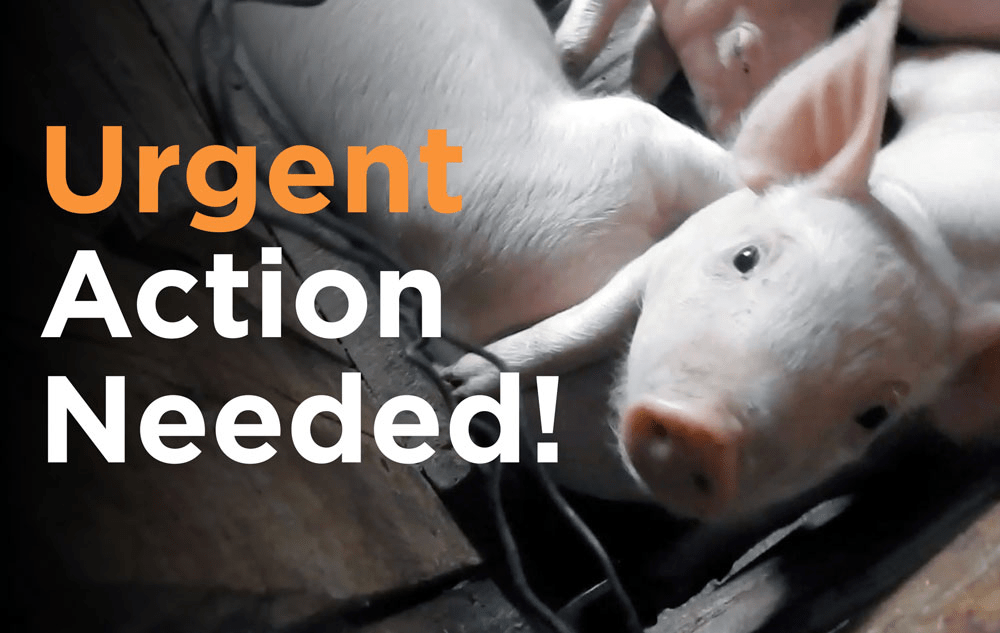 URGENT: Farmed animals need your help now!