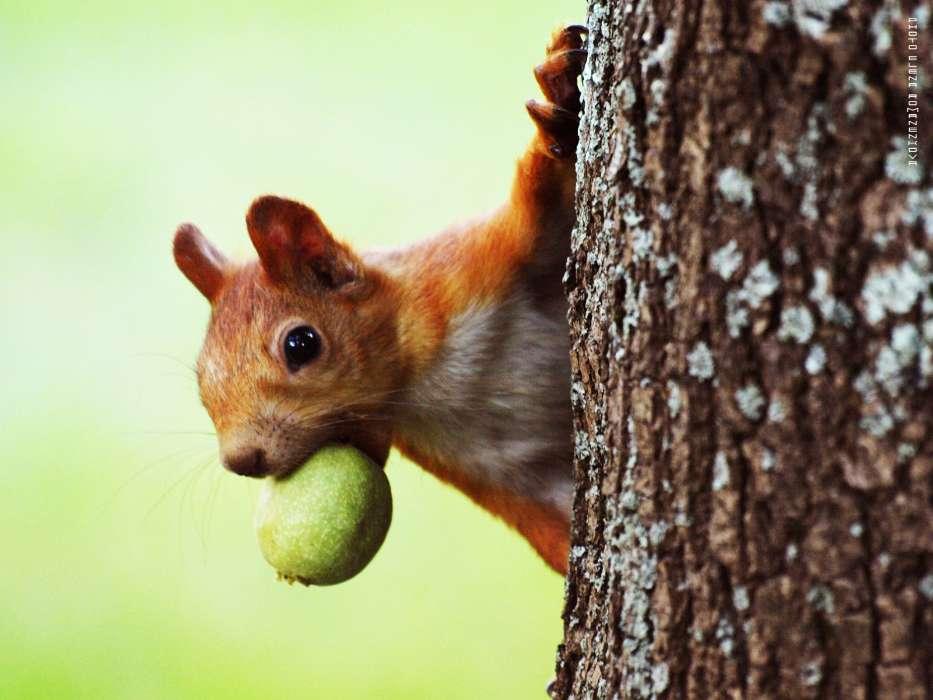 Download Bilder für das Handy Tiere Eichhörnchen
