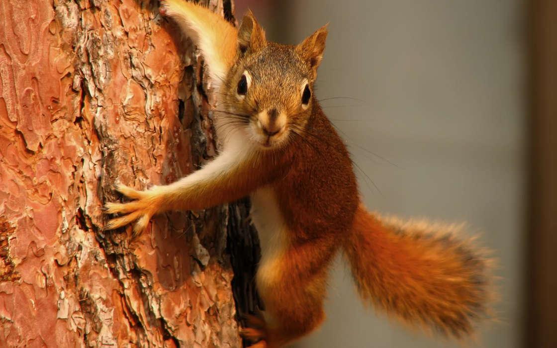 Download Bilder fr das Handy Tiere Eichhrnchen