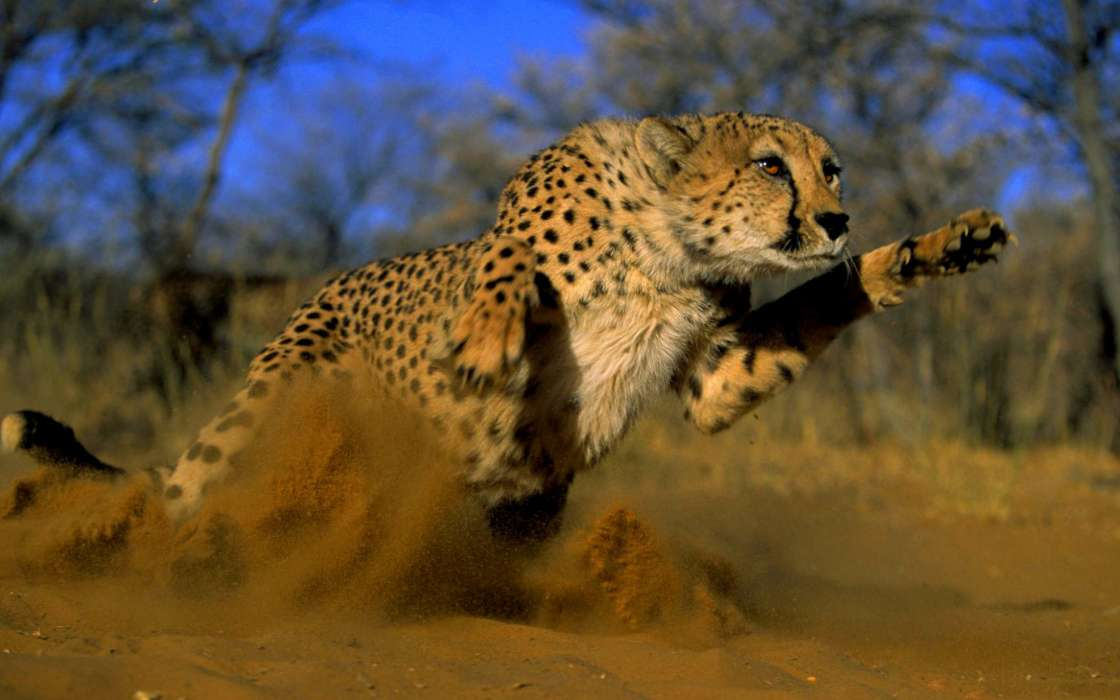 Download Bilder fr das Handy Tiere Geparden kostenlos