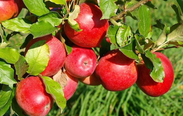 Jabłka, Apple