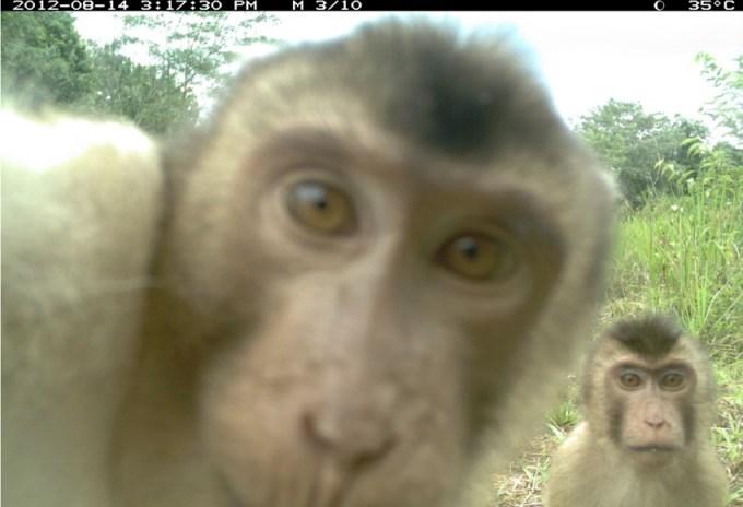 Kadr z fotopułapki (fot. Londyńskie Towarzystwo Zoologiczne)