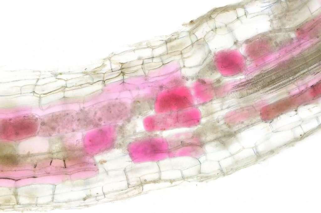 Komórki korzenia po skolonizowaniu przez pożyteczne grzyby mikoryzy arbuskularnej