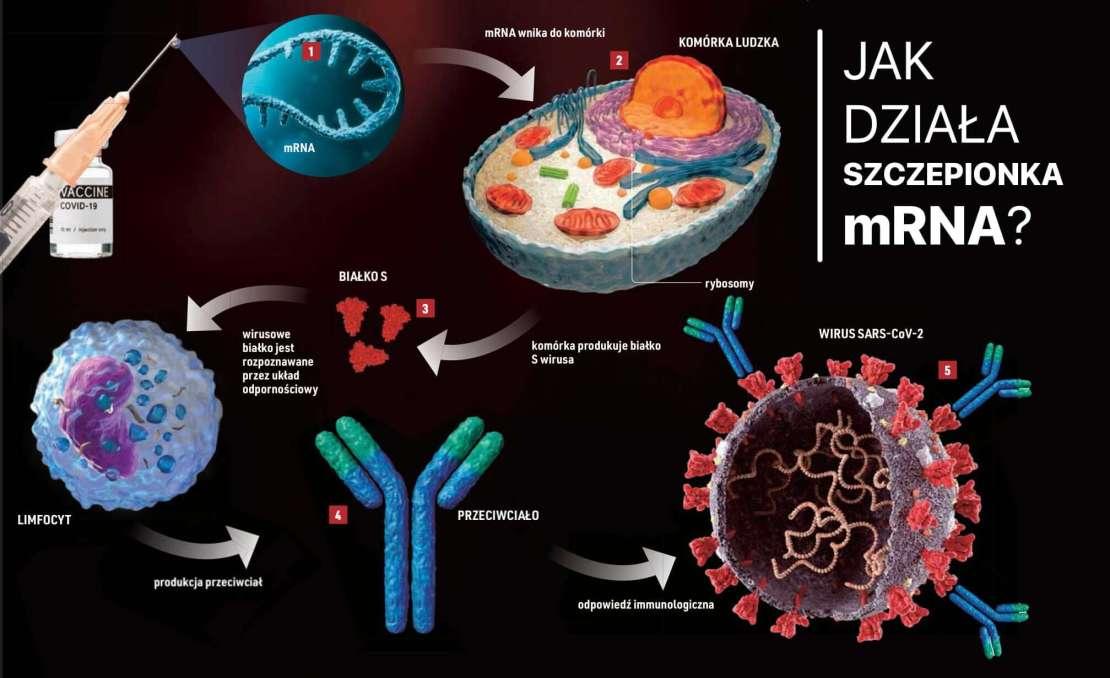 Jak działa szczepionka mRNA? (fot. Focus)
