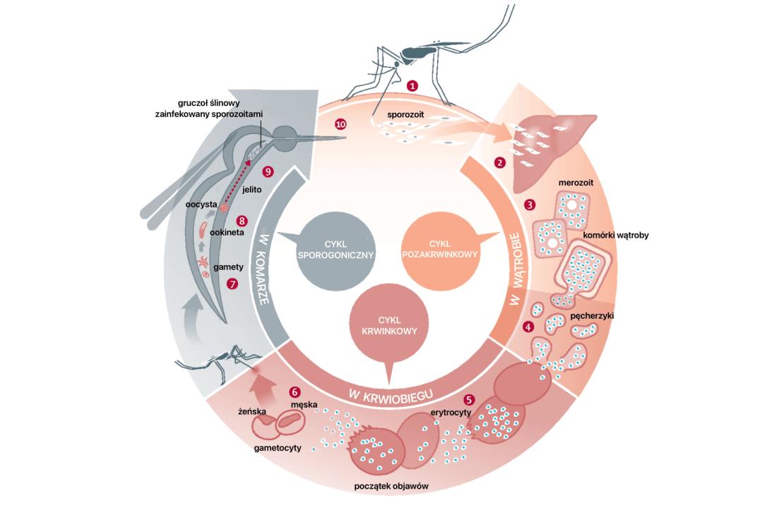 Cykl rozwoju malarii